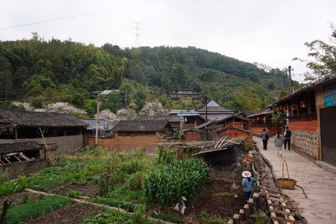 pu erh tea farm