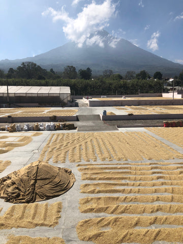 Green coffee with parchment being patio dried and covered at Bella Vista Mill in Antigua, Guatemala with a mountain in the background