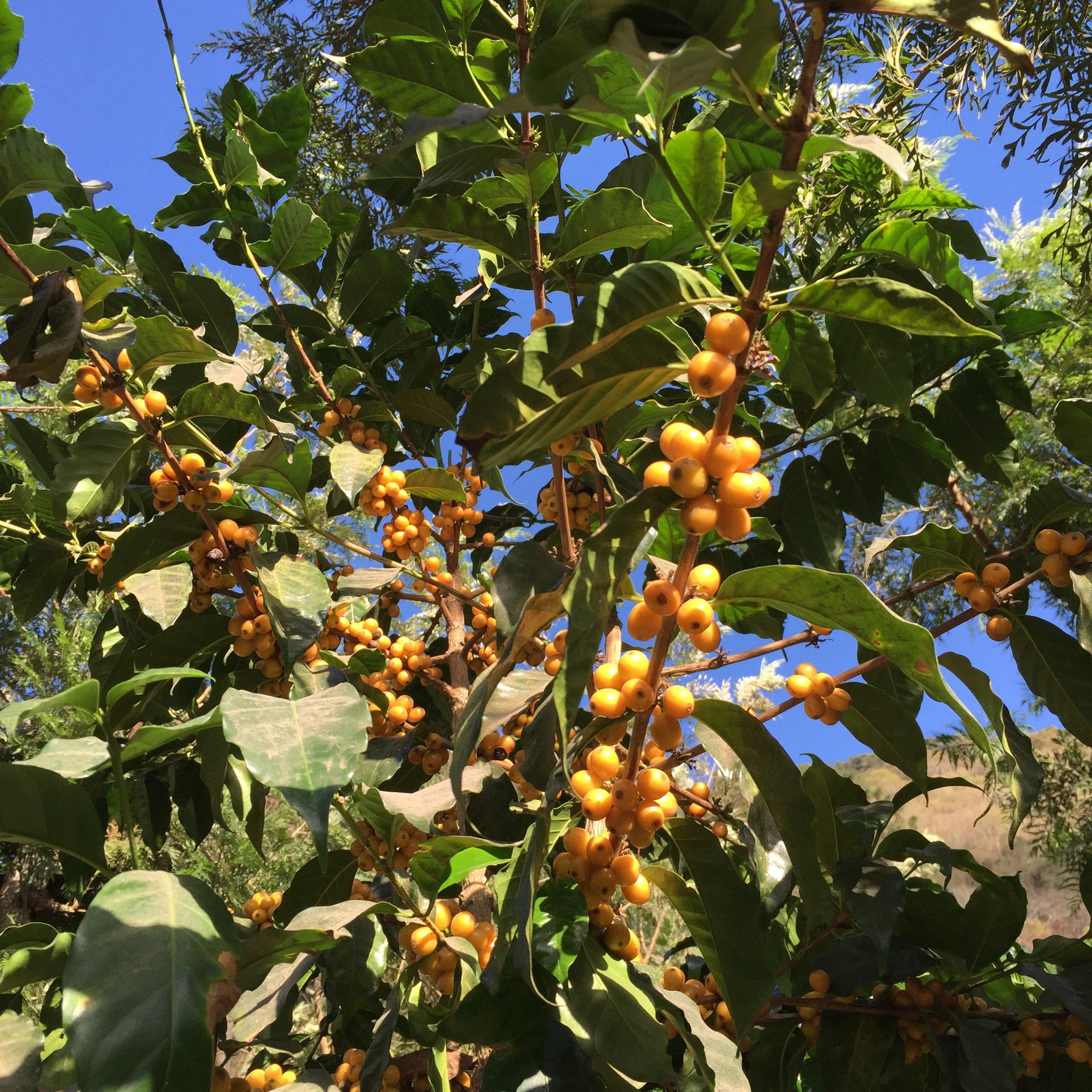 Yellow Bourbon variety of coffee cherries on a coffee shrub ready to pick