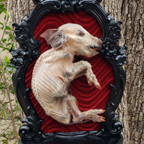 Huge Mummified Stillborn Pig Wall Display
