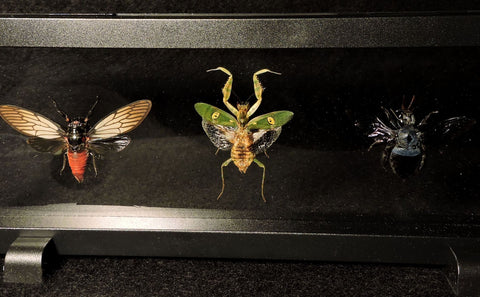 Insect Collection - Flower Mantis, Blue Carpenter Bee, Scarlet Cicada
