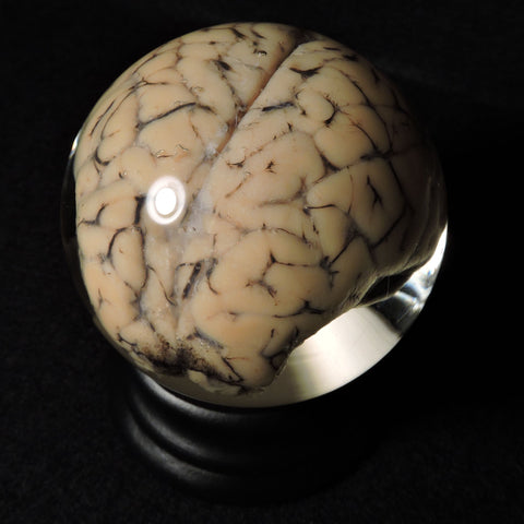 "Sheep Brain 3"" Wet Specimen Globe"