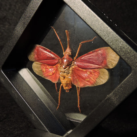 Blood Red Lantern Fly in 3D Floating Frame
