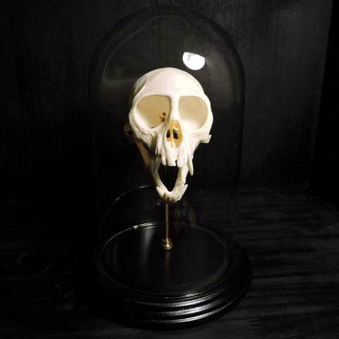 Vervet Monkey Skull Glass Dome Mount