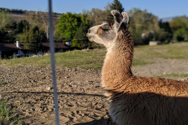 A Micro Adventure & A Llama Named Mark