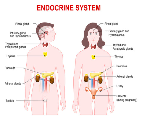 Endocrine System 101: What Does it do for you and What can it do for you?
