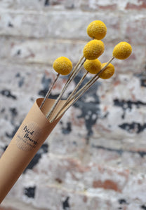Dried Craspedia..Billy Buttons