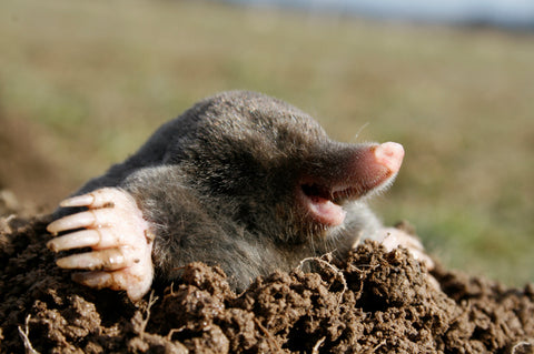 Ground mole emerging from mound of dirt