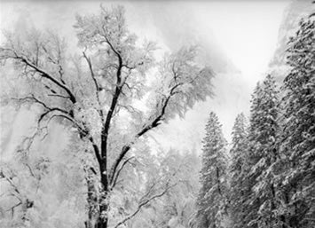 Tree and Snow, Yosemite