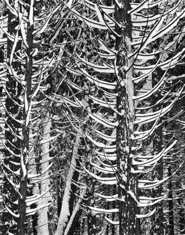 Pine Forest in Snow