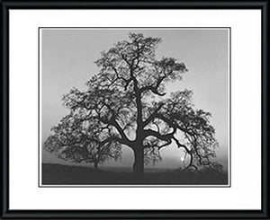Oak Tree, Sunset City by Ansel Adams [ Framed Reproduction ] - Framed Posters
