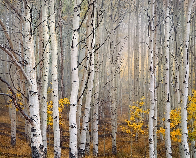 Aspen in Fog, Boulder Mountain, Utah by Charles Cramer - Ansel Adams Gallery