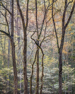 Intertwined Trees and Dogwood, Great Smoky Mountains