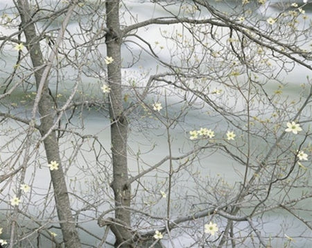 Dogwood Tree Blooming Along the Merced River