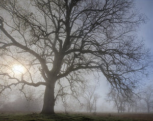 Valley Oak in Fog, Ahwahnee, California