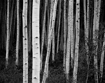 Aspen Forest, Dusk, near Apsen, CO