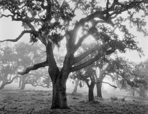 Oaks in Fog, Sunrise, Carmel Valley, CA 1995