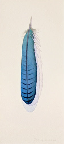 Steller's Jay Feather