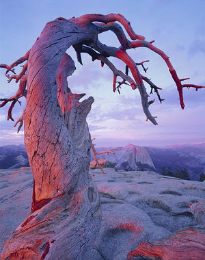 Jeffrey Pine, Rose Light