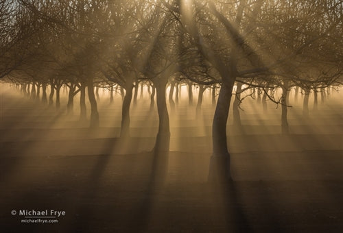 Orchard With Sunbeams and Fog, Sacramento Valley, California