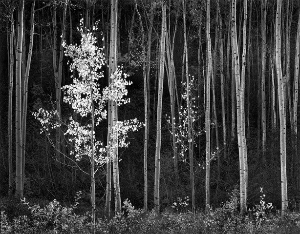 "Aspens, Northern New Mexico (H) - 42"" x 56"" Rolled"