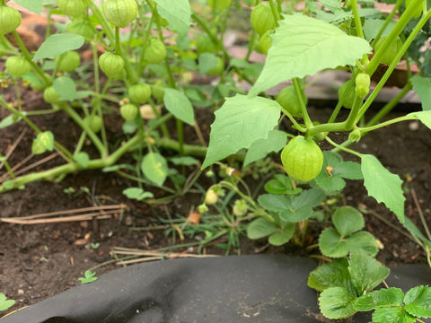 Tomatillo plants