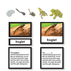 Life Cycle of a Frog Free 3-part card montessori materials