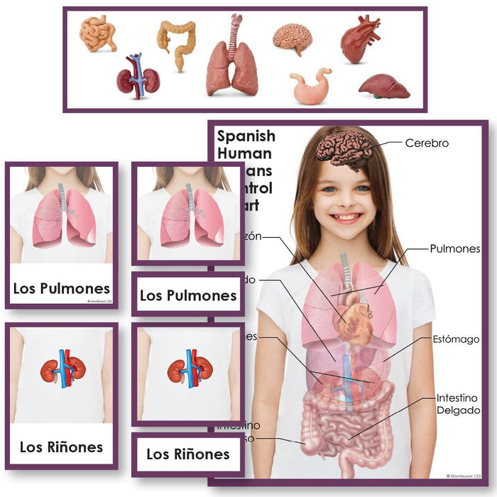 Language Arts-Spanish - Spanish Human Organs 3-Part Cards With Objects And Matching Charts