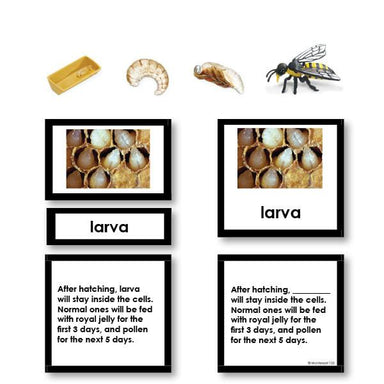 Zoology-Life Cycles - Bee Life Cycle 3-Part Cards With Objects