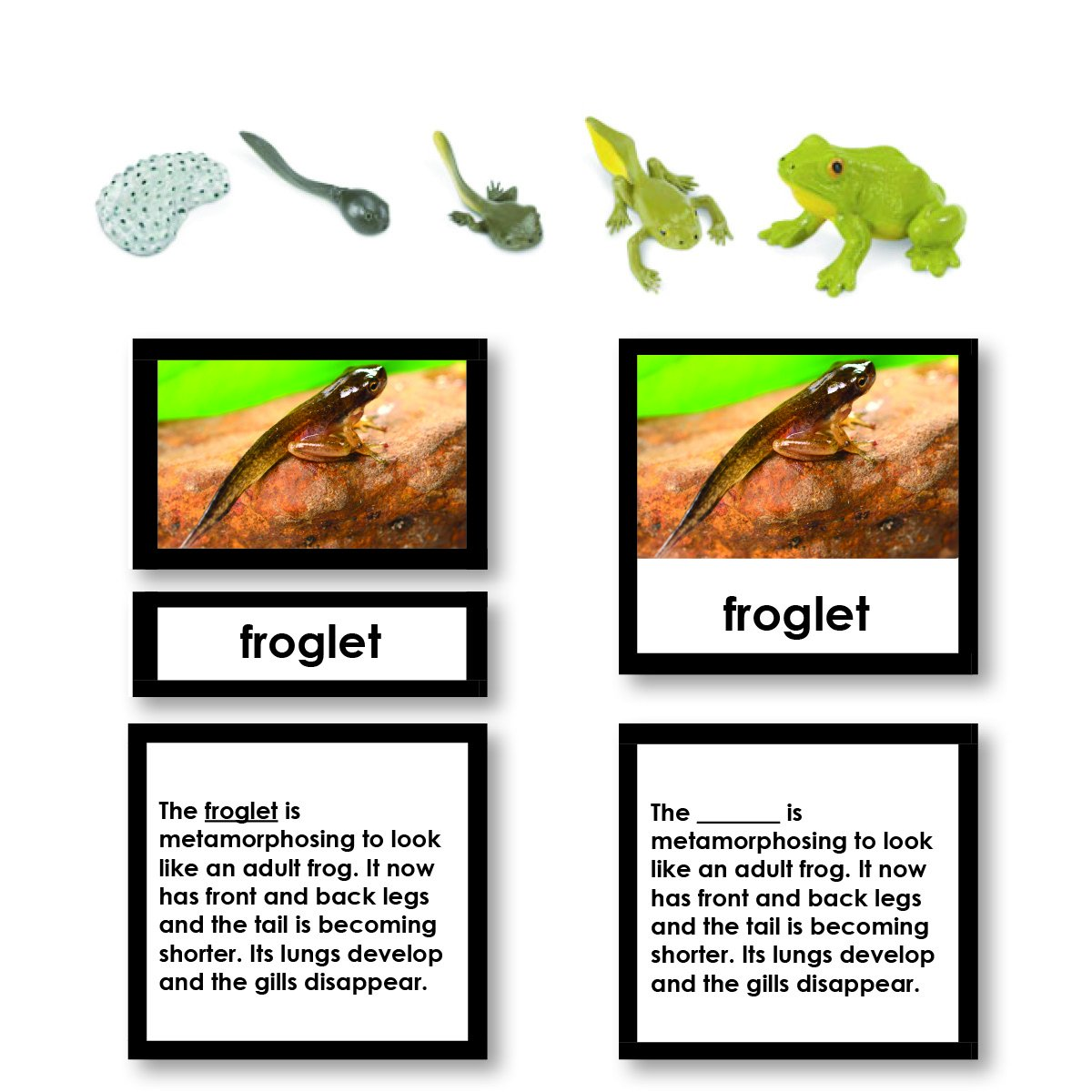 Zoology-Life Cycles - Frog Life Cycle 3-Part Cards With Objects