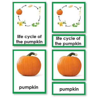 Zoology-Life Cycles - Pumpkin Life Cycle 3-Part Cards