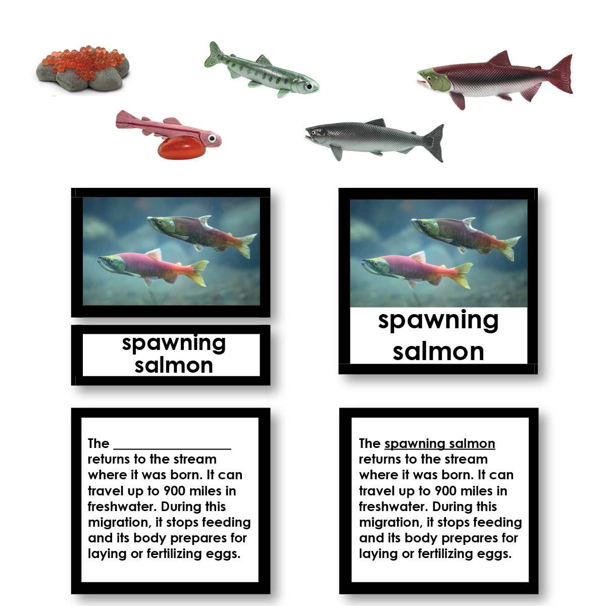 Salmon Life Cycle 3-Part Cards with Objects
