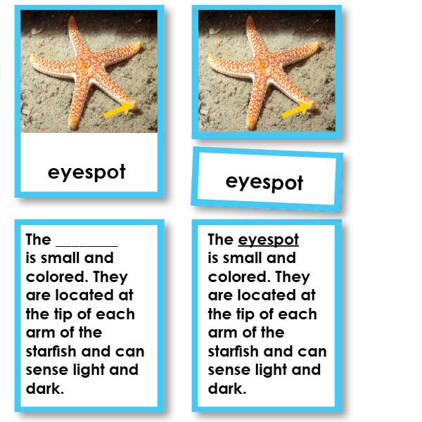 Zoology-Parts Of Invertebrates - Parts Of An Echinoderm (starfish) 3-Part Cards With Definitions