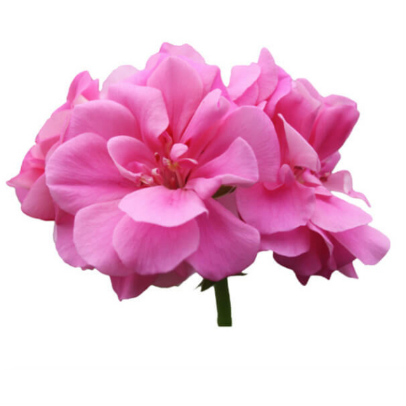 Geranium Rose -  3 ml