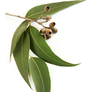 Eucalyptus Radiata - 5 ml