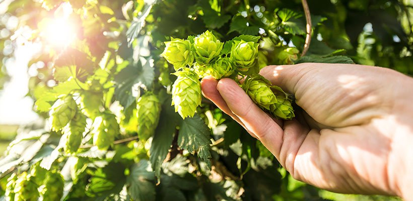 0816-NB-SP-Harvesting-Hops2-820_1_.jpg