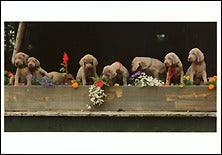 Marigolds, Petunias, Weimaraners, 1989 Postcards (Set of 12) - ImageExchange