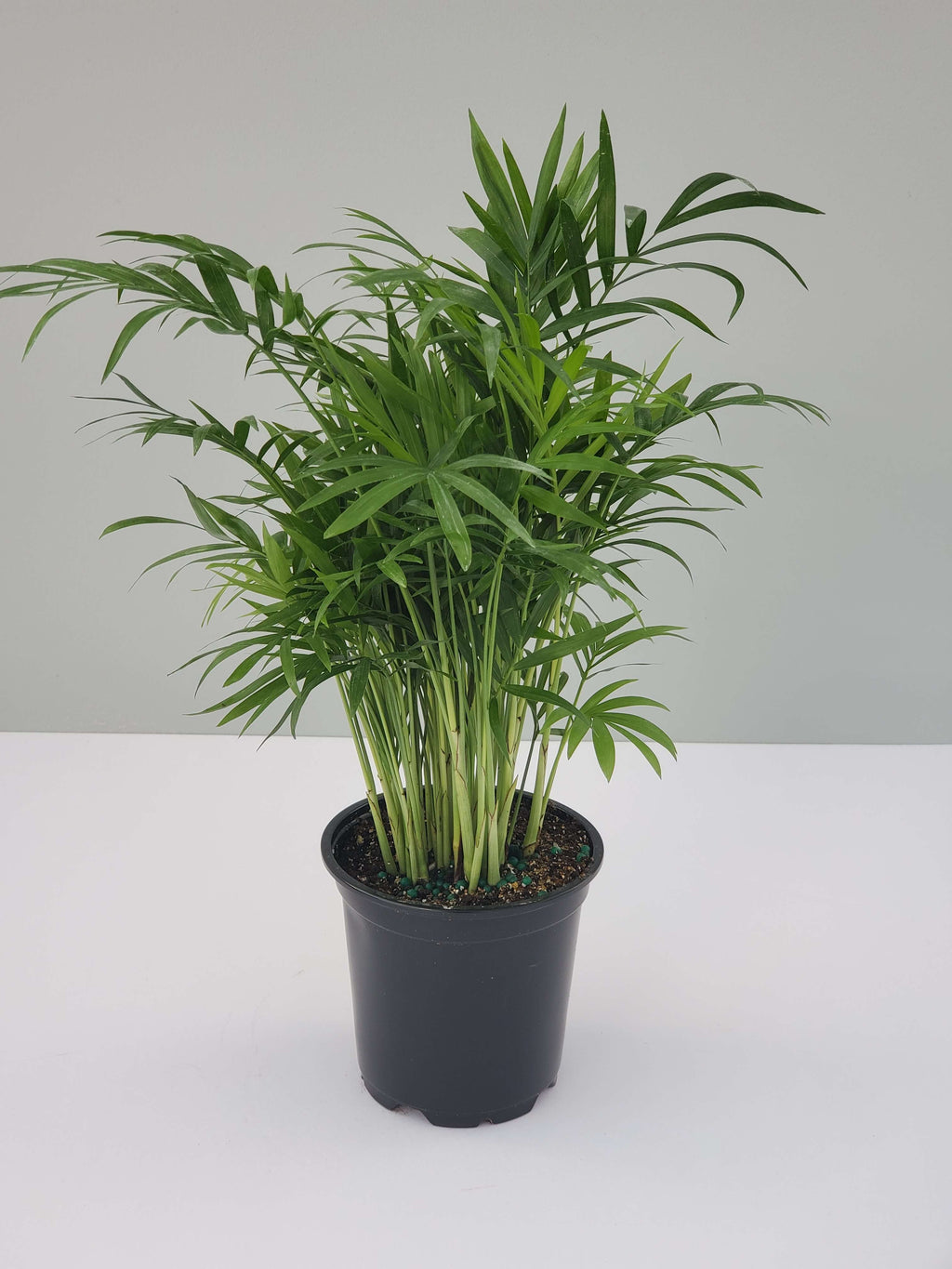 "Parlor Palm (Small 4"")"