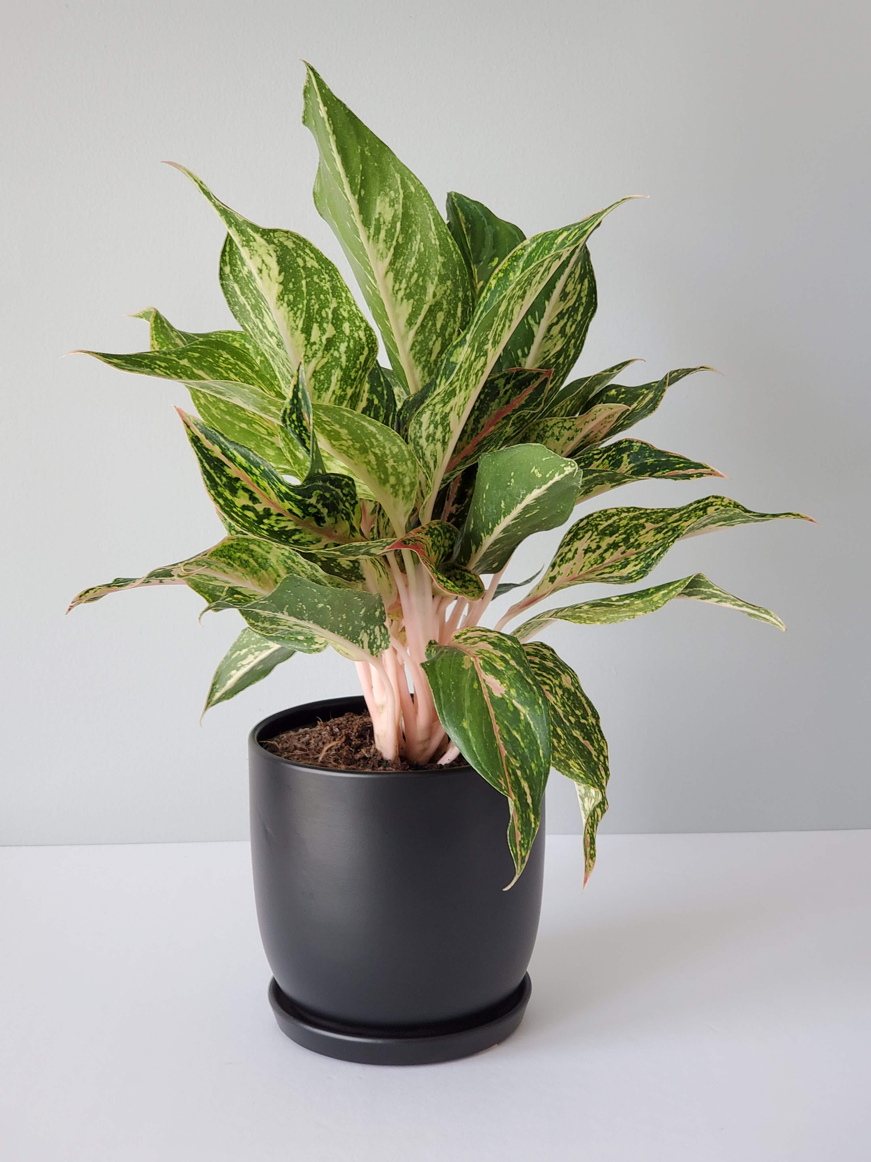 Aglaonema Sparkling Sarah Houseplant Buy Online chinese evergreen plant