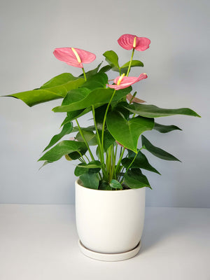 Pink Anthurium Houseplant buy online