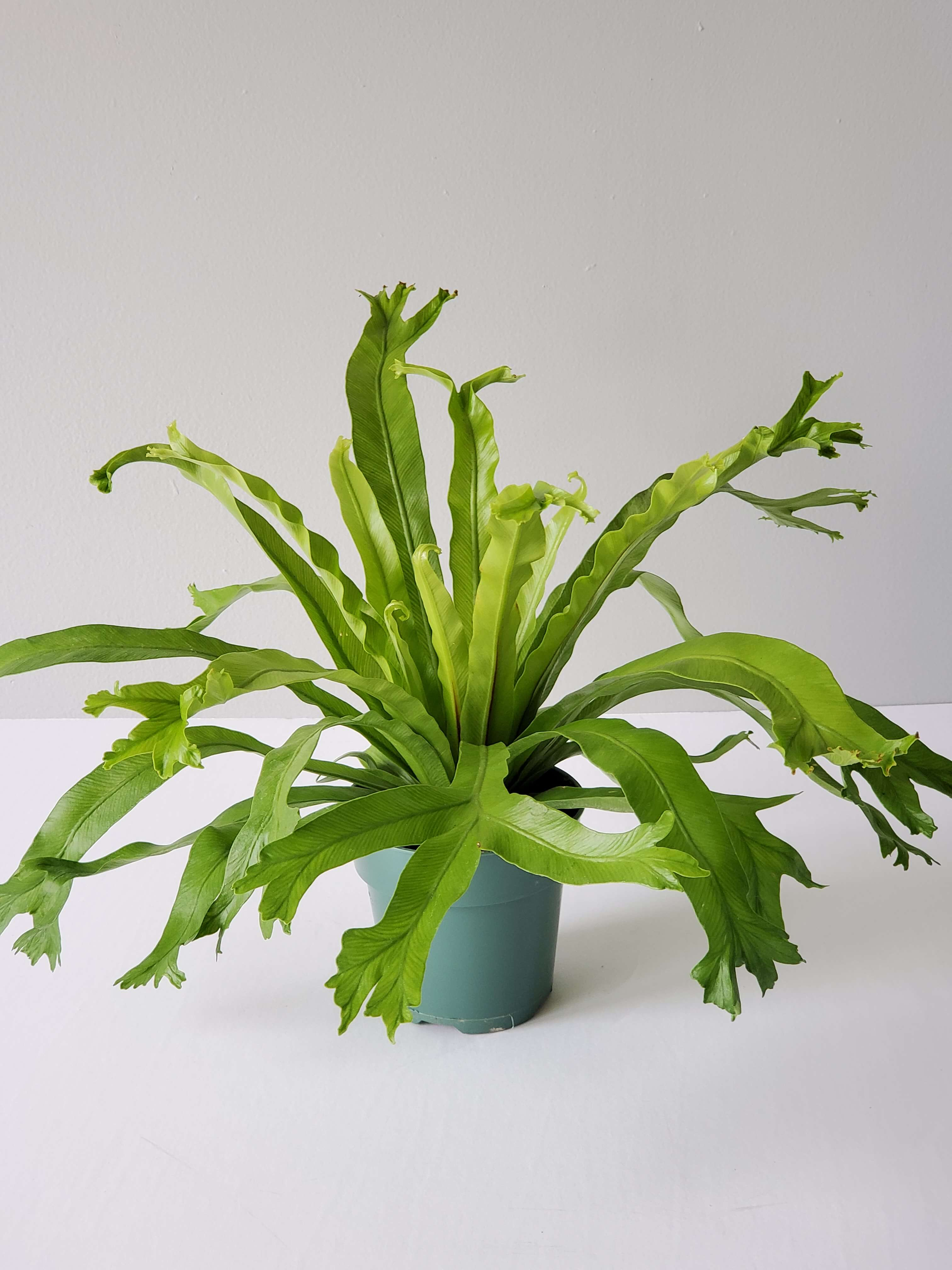 "Bird's Nest Fern Crissie (Small 4"")"