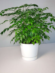 China Doll Houseplant buy online