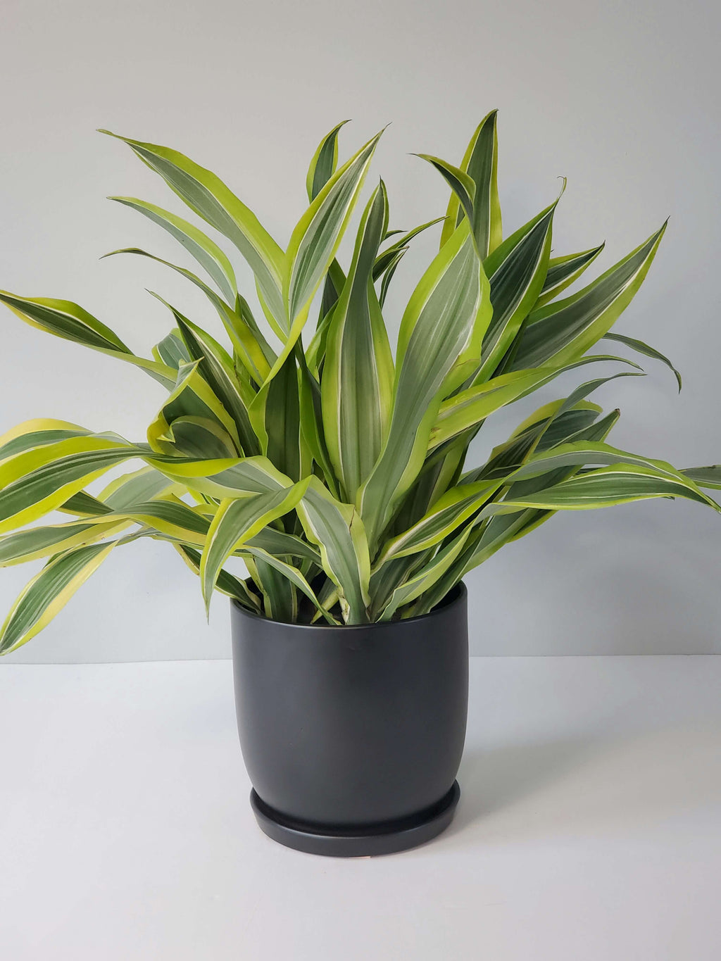 Dracaena Lemon Lime Houseplant Buy Online