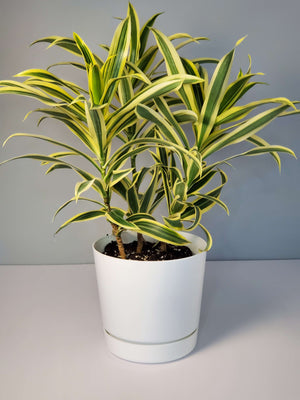 Dracaena Song of India  Houseplant buy online