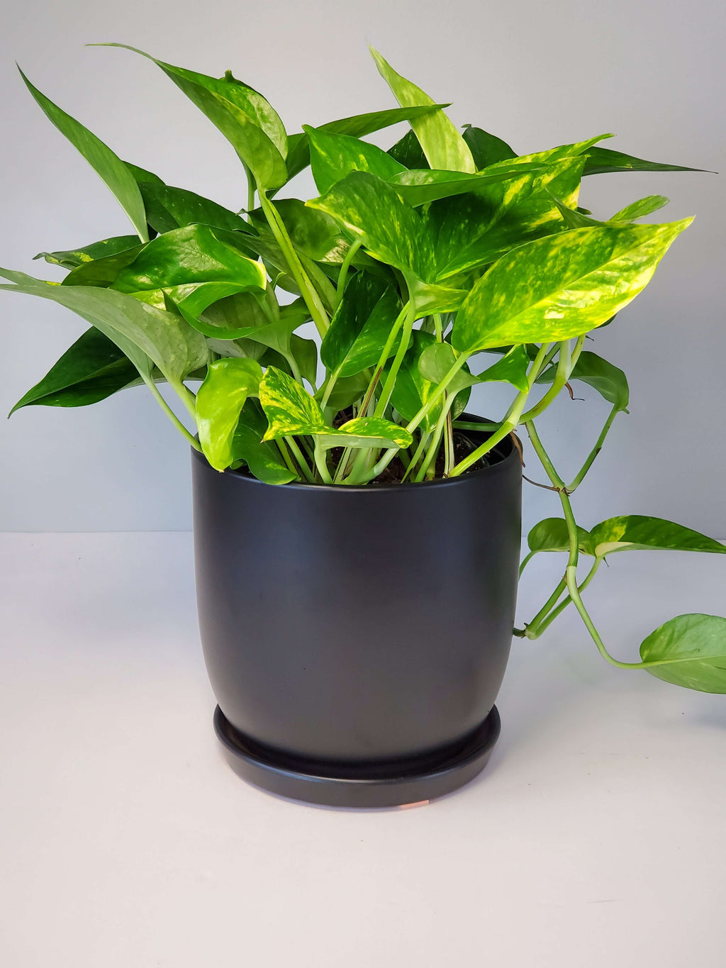 Golden Pothos Houseplant Buy Online