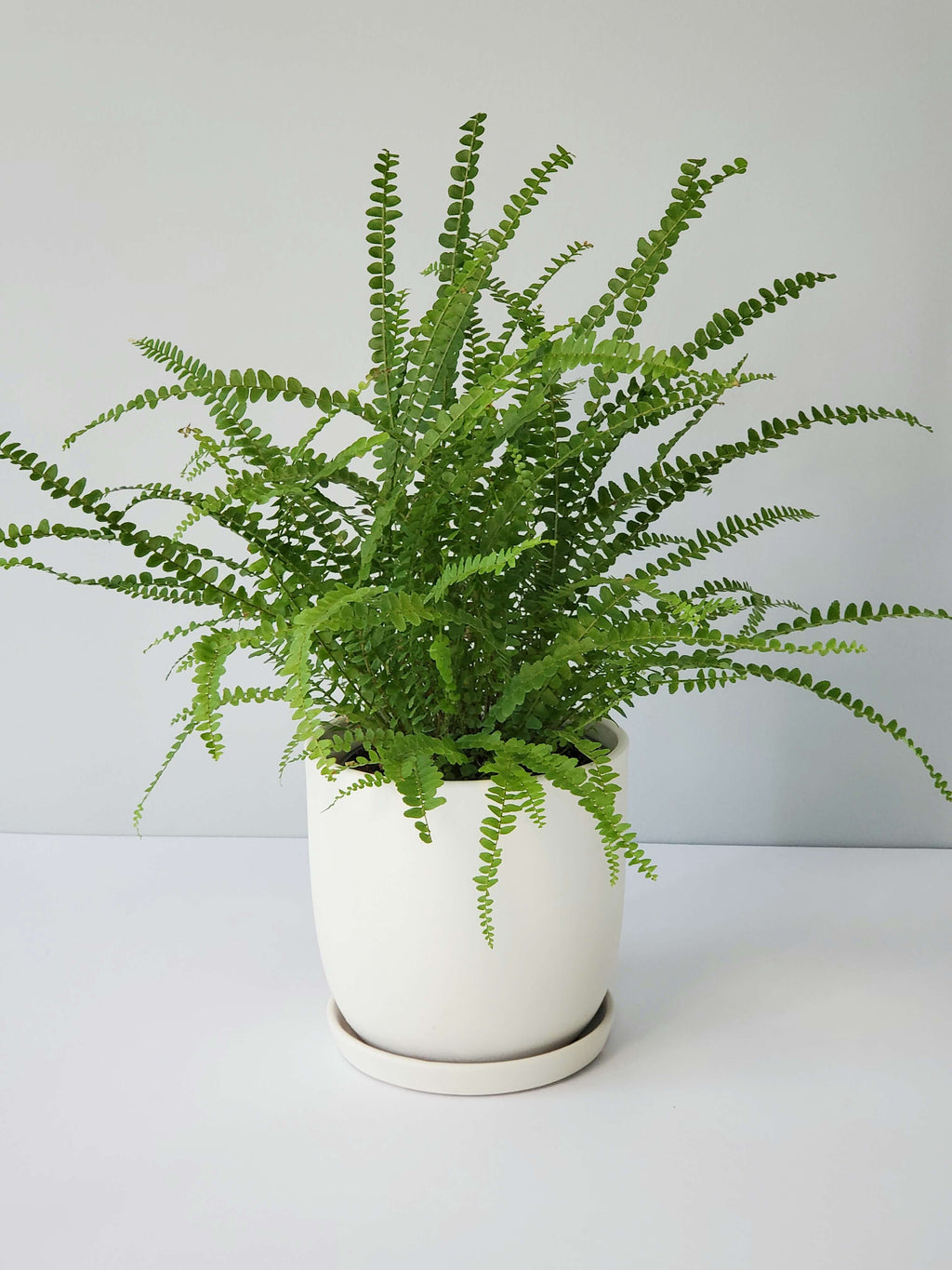 Lemon Button Fern Houseplant Buy Online