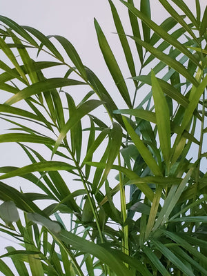 Parlor Palm Houseplant Neanthe Bella Palm buy online
