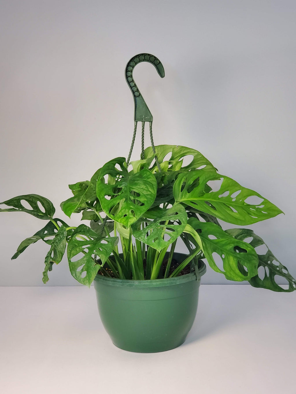 Split Leaf Philodendron Houseplant buy online