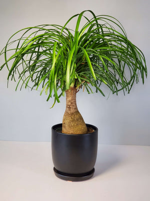 Ponytail Palm Houseplant Buy Online