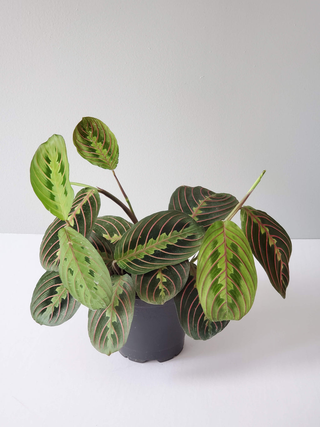 "Prayer Plant (Small 4"")"